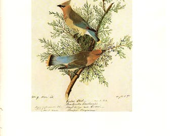 Cedar Waxwing Plate 9 painted by JJ Audubon for Birds of America. The page is approx. 10 inches wide and 13 inches tall.
