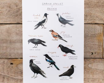 Corvid Species of Britain - Art Print, Corvid Poster.