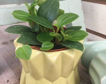 Peperomia European Trailing 2""