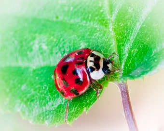 Lady Bug Photograph fine art print photo ladybug 5 x 7, 8 x 10, 16 x 20