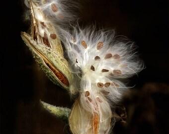 In the chiaroscuro milkweed