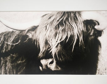 Original photograph of Highland Cattle, foam board backed, white mat