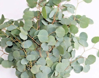 Fresh Eucalyptus Silver Dollar Bunches - Bulk Greenery  (Free Shipping)