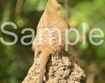 Meerkat 5x7 Photograph