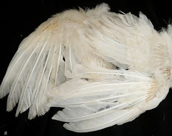 Small Dusty White Turkey Wings: Real Dried Wings, Non-Toxic - meleagris gallopavo  TW070