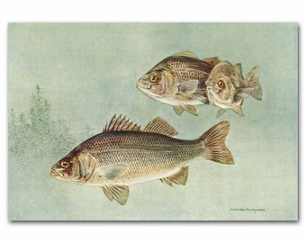 "Fishing Art, Fishing Prints, Vintage Fathers Day Gift --- ""Perch Fish"" No. 131"