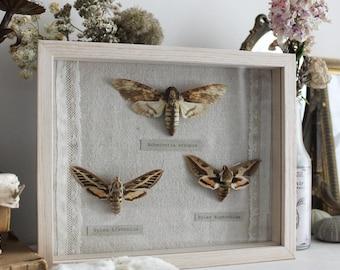 Belles de Nuit . artisanal antique butterflies frame dead head moth vintage from Deyrolle entomology wall hanging cabinet of curiosity  .