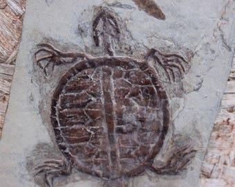 RARE Manchurochelys Turtle Fossil Specimen!