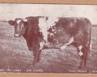Pat The Giant Cow - Weird Antique Postcard - Sideshow Freak
