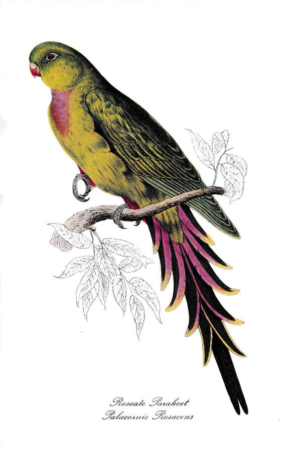 1940's print of parrot, Roseate Parakeet, reproduction of coloured lithograph by Edward Lear, green and red feathered bird