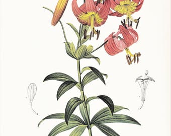 Red lily print vintage botanical print gardening gift  Lilium superbum by Pierre-Joseph Redouté red flower illustration 8.5 x 12 inches