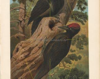 Antique black woodpecker print. Woodpecker wall art. Woodpecker decor. Woodpecker gift. Bird art print. Bird home decor. Bird wall art. 1882