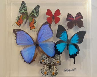 10x10 NEW!, Real butterfly display, Real butterflies mounted in an acrylic display , framed butterflies, morpho, butterfly art