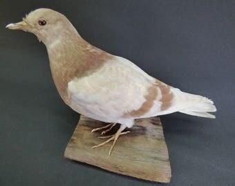 TAXIDERMY Town/ Domestic/ Feral Pigeon. Mounted On Driftwood.