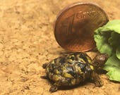 Little turtle miniature 1...
