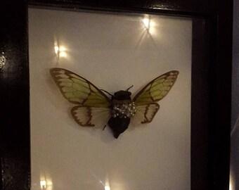 Real entomology taxidermy cicada shadow box frame with jewel encrusted embellishment