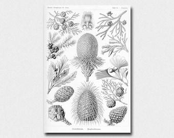 E. Haeckel Print 1904 - Ernst Haeckel Wall Art Coniferae BUY 2 GET 1 FREE