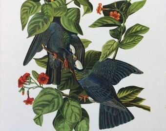 1946 Vintage Print White-Crowned pigeon;  J J Audubon's American Birds Chromolithograph