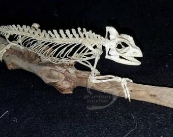Veiled chameleon skeleton - photo#44