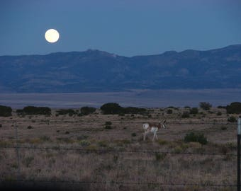 Photo -NM Pronghorn Antelope, October Evening- Titled-After the Rut