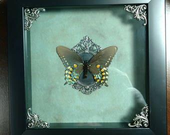 REAL Framed Pipevine Swallowtail Butterfly from North America