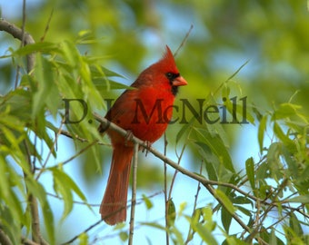 Male Northern Cardinal in Willow tree Wildlife Nature Photography Photograph Photo Red Bird Songbird Print Untamedwildlife McNeill