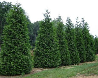 "25 Green Giant Thuja Plicata  Arborvitae 3""pot"