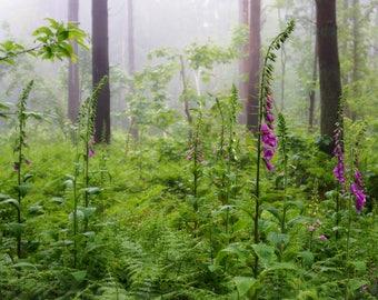Misty Foxgloves