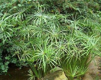 300 Seeds Cyperus alternifolius Umbrella Plant Seeds, Papyrus Grass
