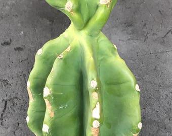 Small Head Peruvian Cactus Cutting