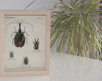 Insect framed Coleoptera