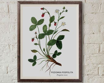 Poziomka pospolita, Wild strawberry (Fragaria vesca) - illustration - print 13x18cm