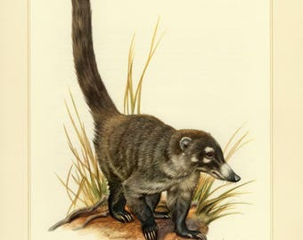 Vintage lithograph of the white-nosed coati from 1956