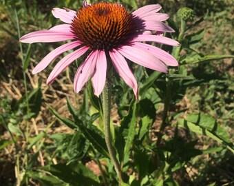 Echinacea Tincture, organic Echinacea purpurea root
