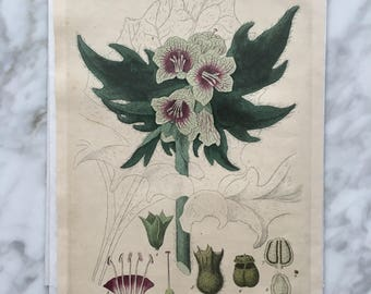 Antique Botanical Print - 1839