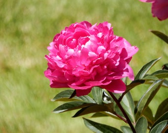 Photo Note card-PINK PEONY