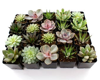 "Flat of (50) 2.25"" Bulk Succulents Mixed Varieties -  Indoor Plants, Succulent Plants, Cacti, Waterless Plants, Succulent Wedding Favors"