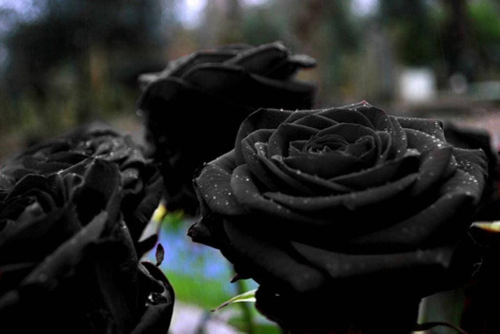 black rose seeds, rare rose seeds, exotic dark rose, flower, Beautiful flower