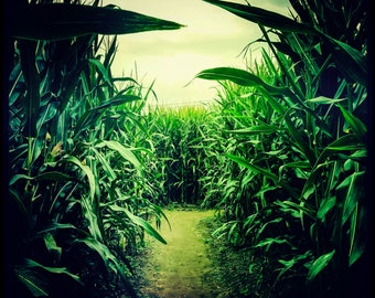 Maize Maze...(Bill Keough 2017)