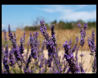 Photo 30X40cm sprigs of lavender Valensole tray