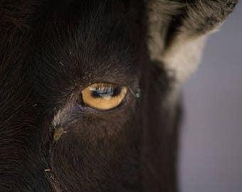 Eye of the Goat