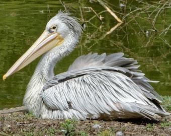 Pelican bird Marsh