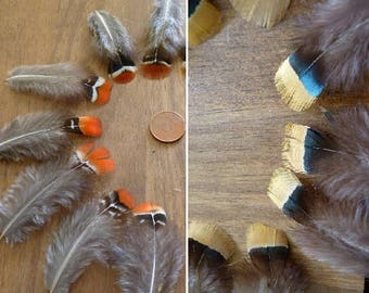 x 10 yellow red lady amherst pheasant feathers