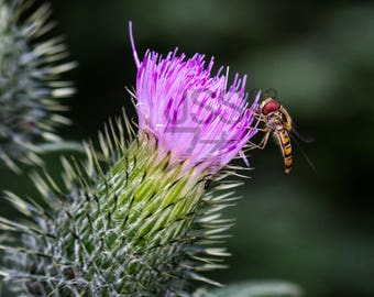 Photography: Marmalde Hoverfly - Episyrphus balteatus (JPG file for printing)