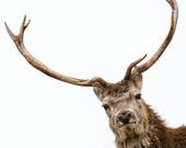 Red Deer Stag Blank Greet...