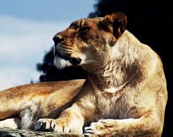 lion sunning