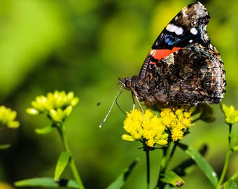 Red Admiral Butterfly Wildlife Fine Art Photography Home Decor Wilderness Nature Animal Insect Bathroom Office Kitchen Decor