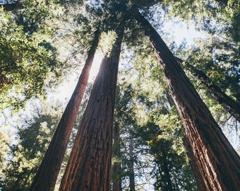 Sequoia Trees, California Travel Photograph, Landscape Print