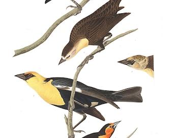 Audubon's Plate 388 Nuttall's Starling Cross Stitch Pattern