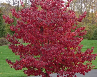 LIVE PLANT --  Cornus florida Rubra - Flowering Dogwood, Grafted Plant in 1 Ltr. Pot
